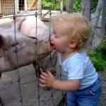 domuz-gribi