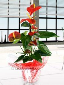 antoryum-50cm-yuksekliginde-salon-bitkisi
