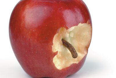 wormy-apple