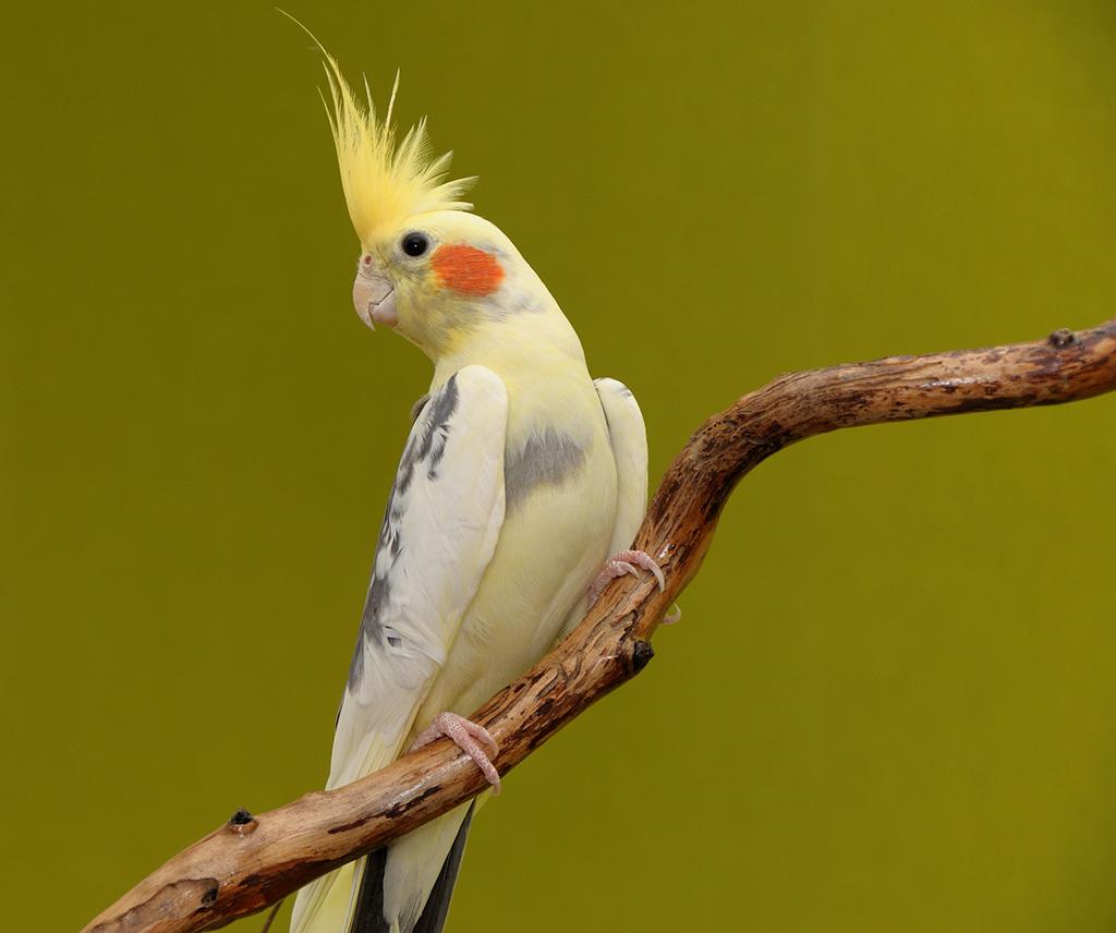 Papağanın özellikleri